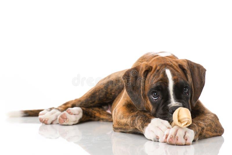 与在白色隔绝的骨头的小狗 免版税库存图片