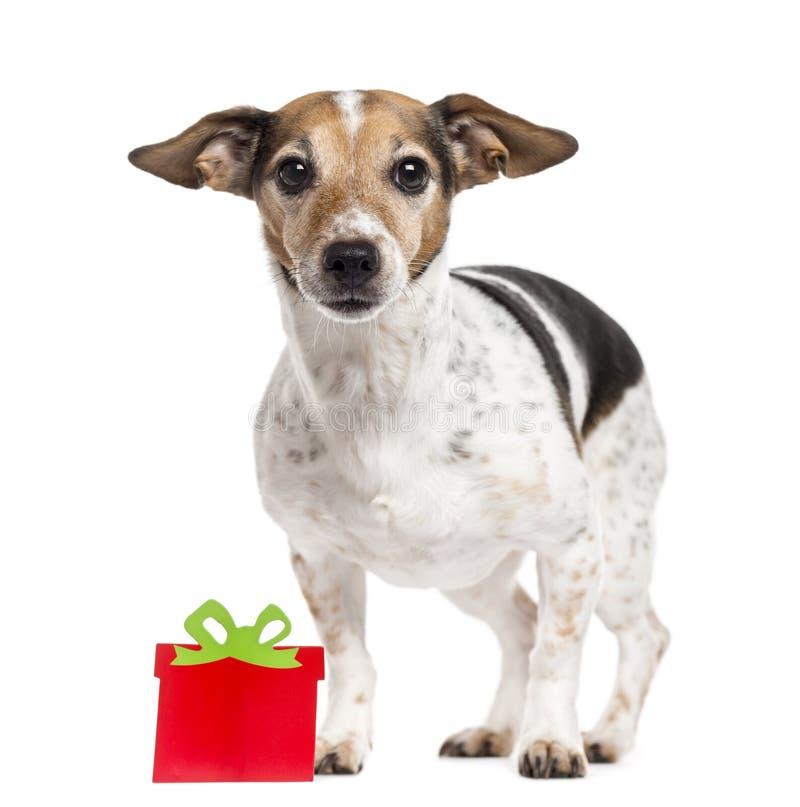 与在白色隔绝的礼物盒的杰克罗素狗 库存照片