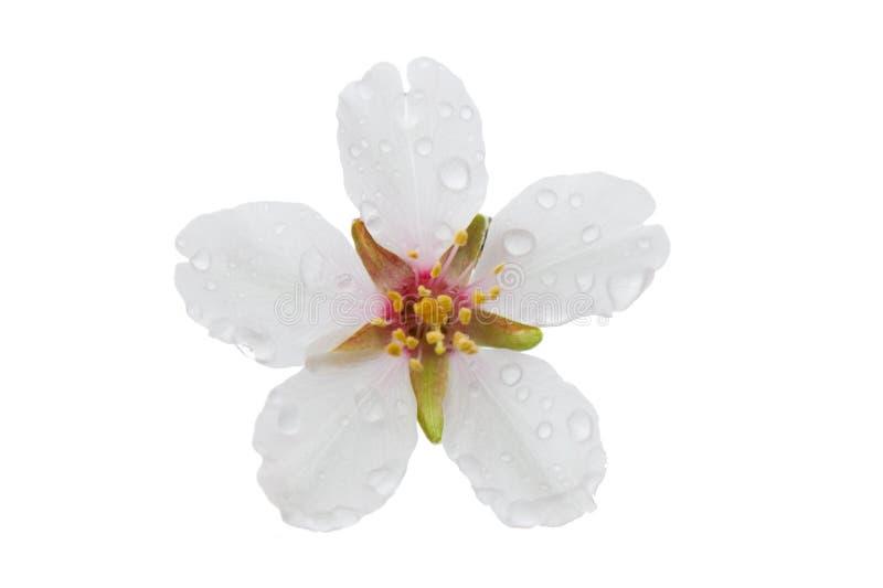 与在白色backgrou隔绝的露水下落的杏仁白花 免版税库存图片