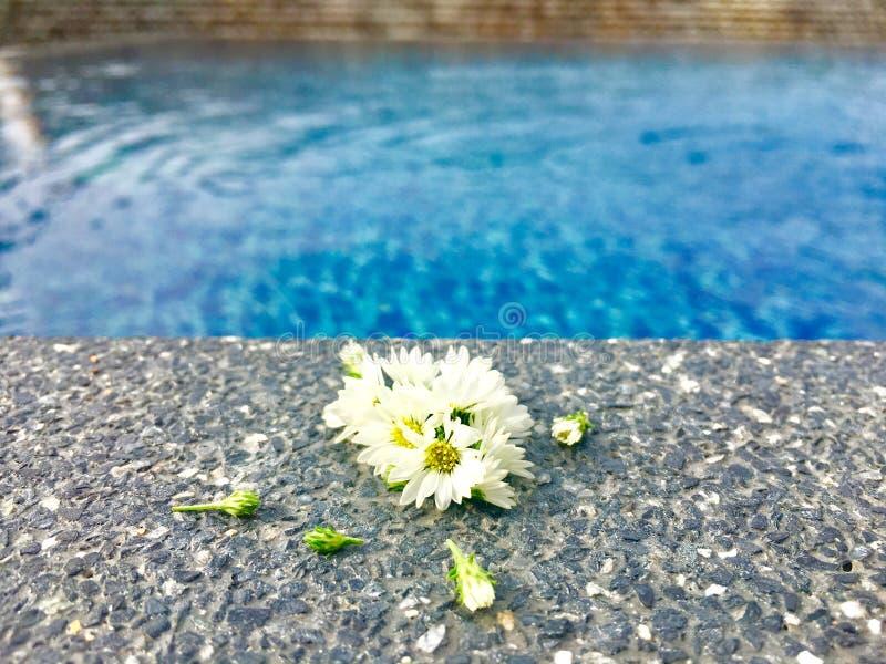 与在石地板上把放的芽的白色翠菊花在游泳场附近在夏时 免版税图库摄影