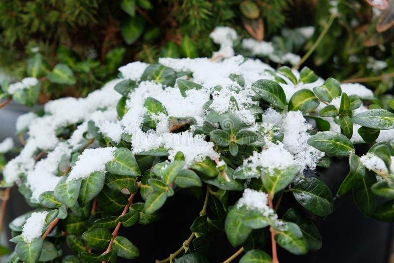 与在雪盖的叶子的斯诺伊常春藤 免版税库存图片