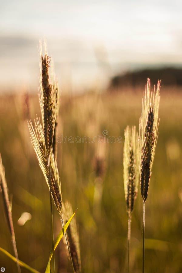 与在风摇摆在日落麦子的耳朵的一个领域 库存照片