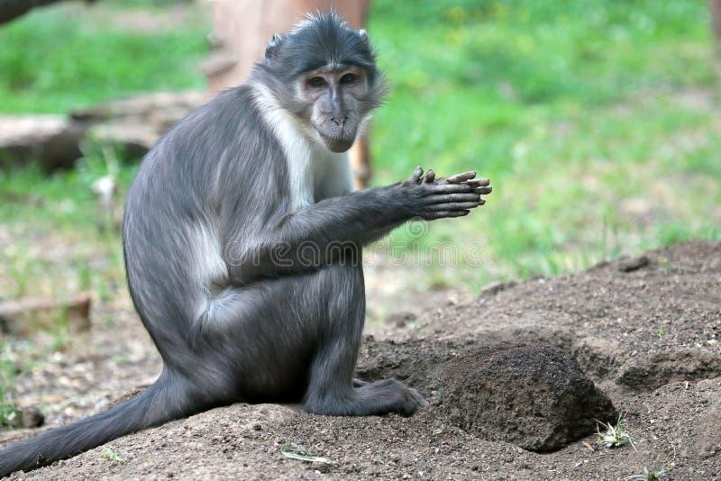 与地球土块的煤烟灰白眉猴  库存图片