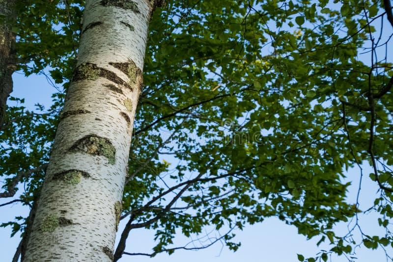与地衣成长的桦树,查寻往叶子和天空在Northwoods 免版税库存图片