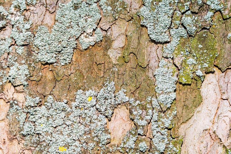 与地衣的抽象自然本底在树皮 免版税库存图片