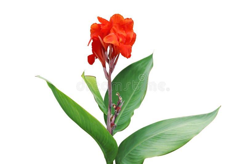 与坎纳在白色背景隔绝的百合厂绿色叶子的红色花  库存图片