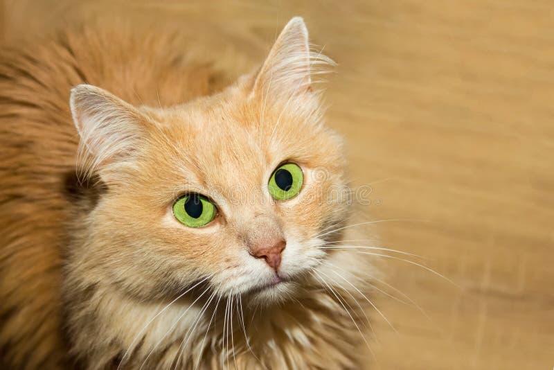 与坐一个逗人喜爱的主妇的特写镜头的大嫉妒画象的蓬松红色猫等待款待 库存图片
