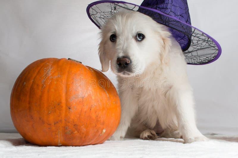 与坐在一个南瓜旁边的巫婆帽子的白色金毛猎犬小狗 图库摄影