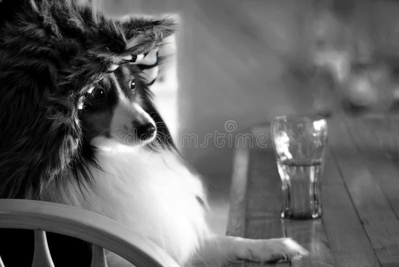 与坐在与饮料的酒吧的帽子的狗 免版税库存图片