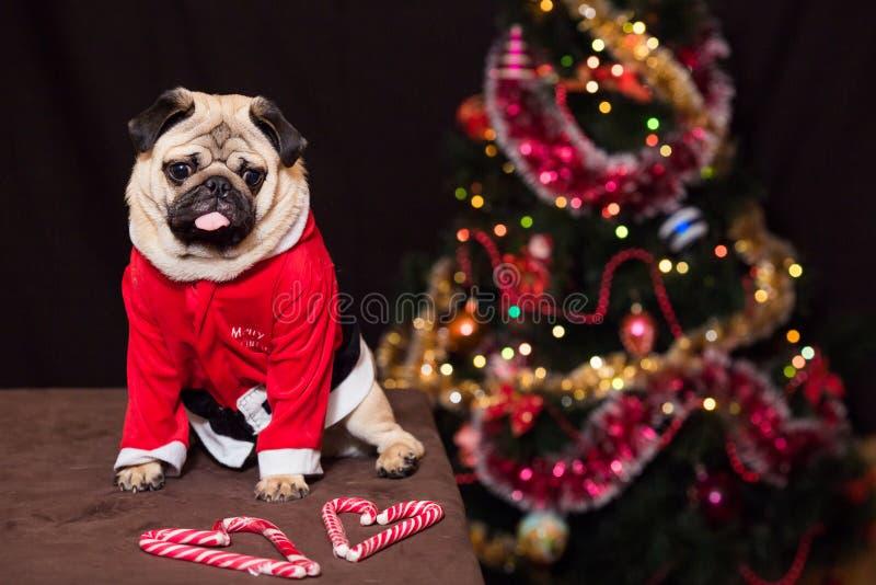 与坐在圣诞老人服装的棒棒糖的滑稽的圣诞节哈巴狗在新年树附近 免版税库存照片