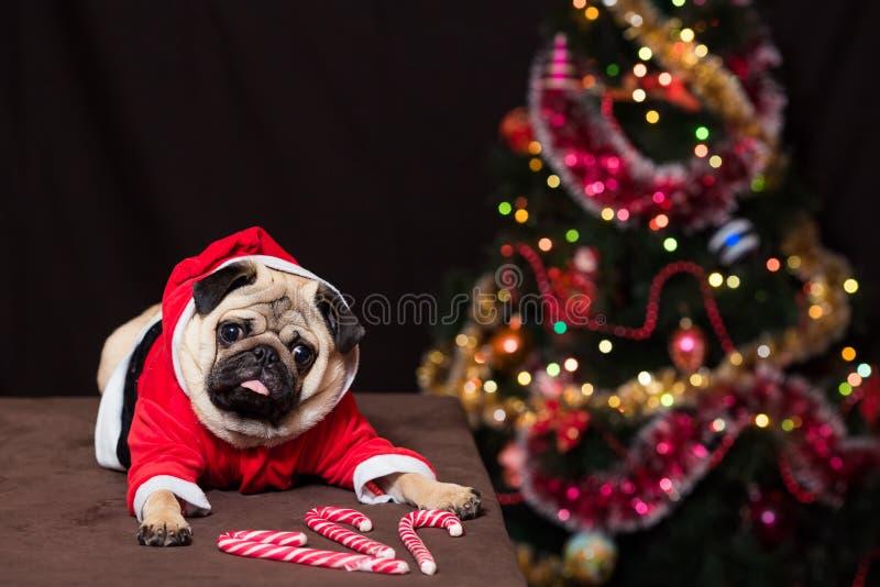 与坐在圣诞老人costu的棒棒糖的滑稽的圣诞节哈巴狗 免版税库存图片