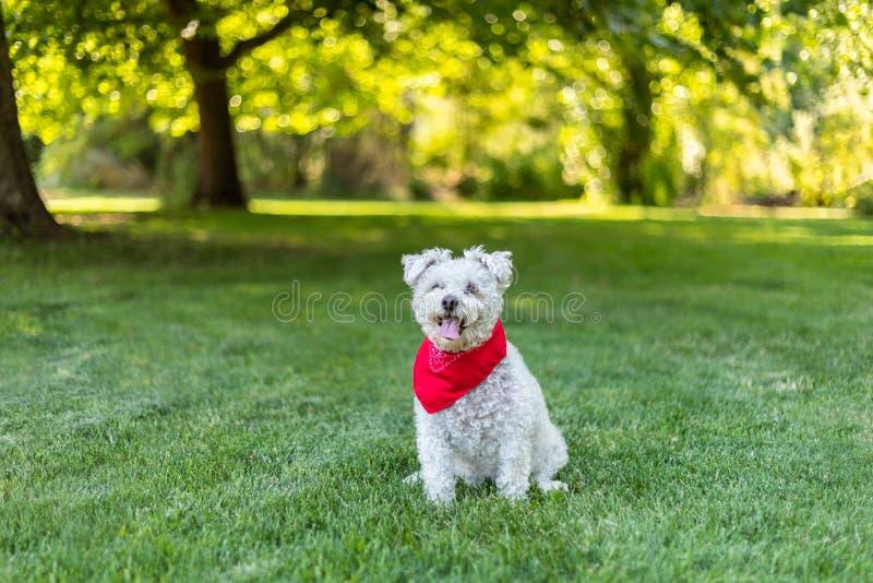与坐在草的红色班丹纳花绸的愉快的矮小的白色狗在公园 库存图片