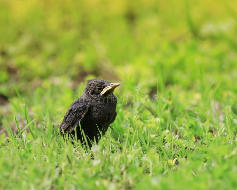 与坐在草的黄色额嘴的滑稽的小鸡椋鸟科和 库存图片