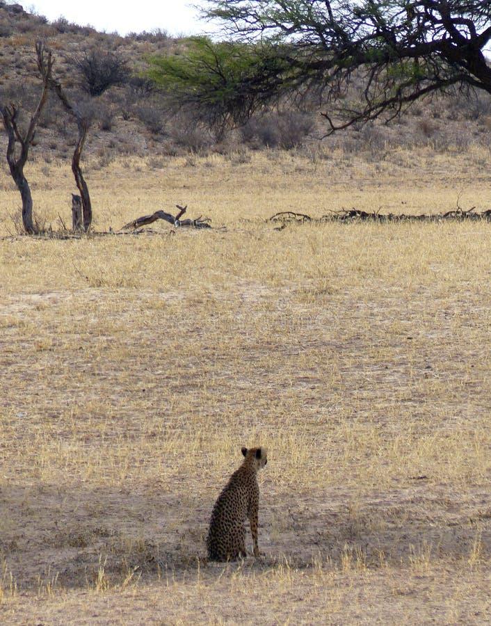 与坐在forground的观看的猎豹的干燥河床 免版税库存照片