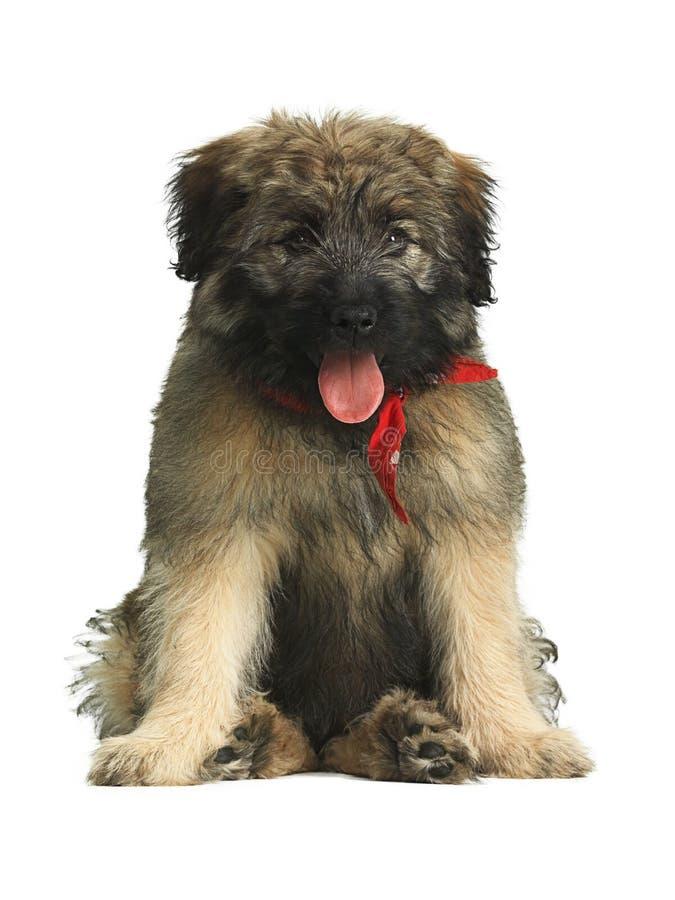 与坐用一个滑稽的方式的红色围巾的长发加泰罗尼亚的护羊狗小狗 库存图片