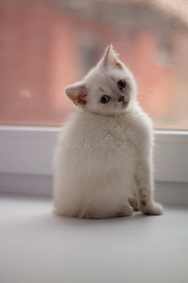 与坐由窗口的蓝眼睛的白色小猫 免版税库存照片