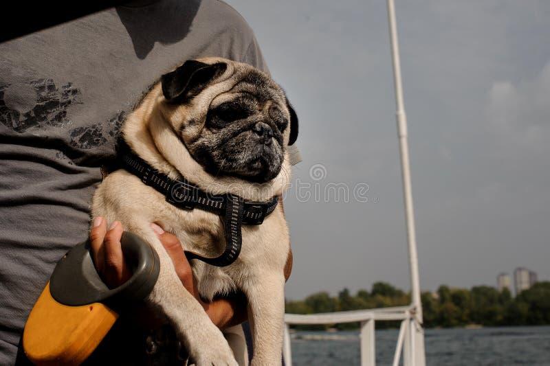 与坐的逗人喜爱的哈巴狗在他的所有者的手 免版税库存图片