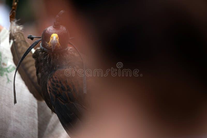 与坐皮革顶头的盖子的猎鹰供以人员手 与蒙蔽的盔甲的野生saker猎鹰户外 免版税库存照片