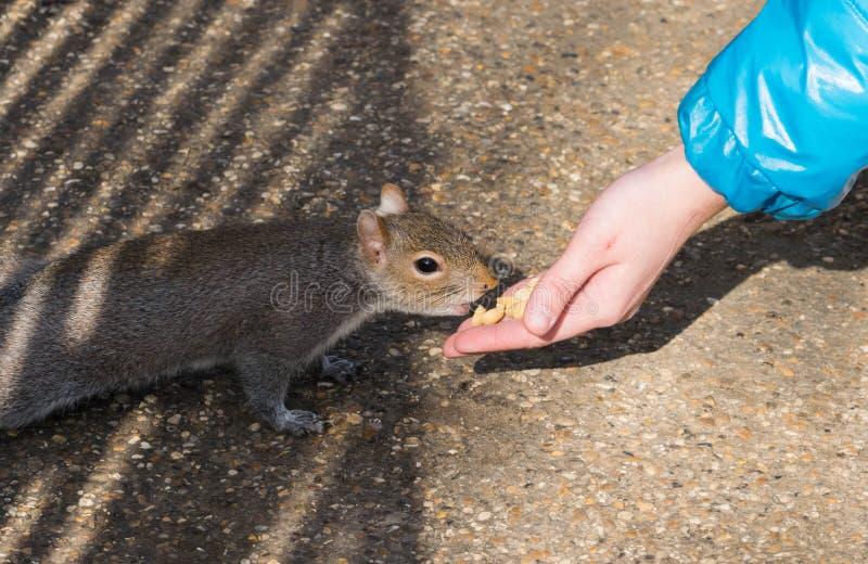 与坚果在海德公园,伦敦的小女孩哺养的灰鼠 免版税图库摄影