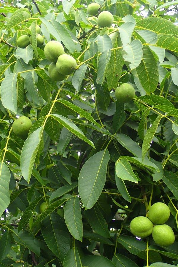 与坚果的核桃树 免版税库存图片