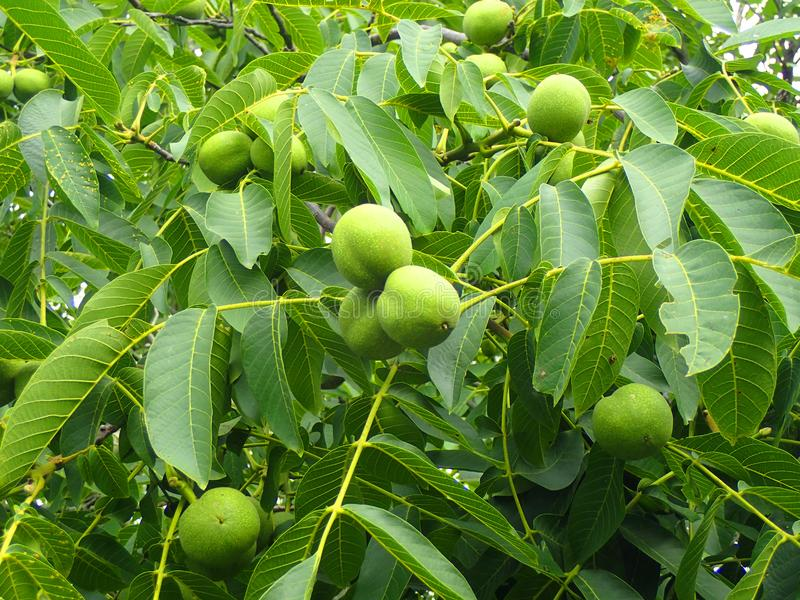 与坚果的核桃树 库存照片