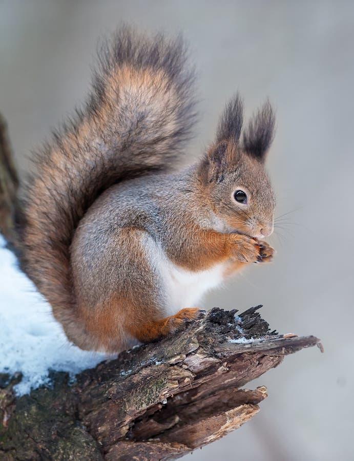 与坚果的红松鼠 免版税库存照片