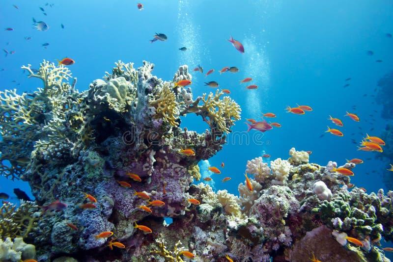 与坚硬珊瑚和异乎寻常的鱼anthias的珊瑚礁在热带海底部大海背景的 免版税库存照片