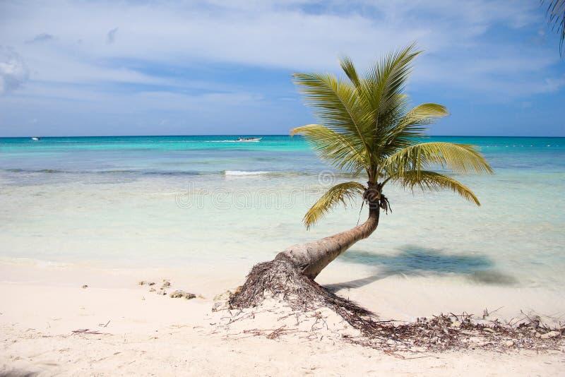 与垂悬在加勒比海的海岸的一根长的树干的棕榈树 沈默、和平和天堂 明亮,海 免版税图库摄影