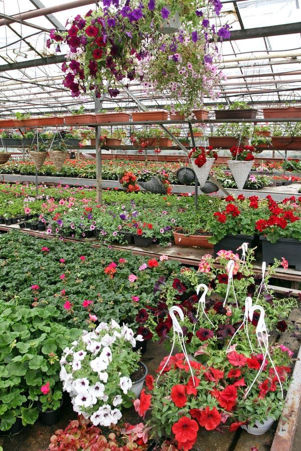 与垂悬的花盆的色的天竺葵和喇叭花领域 红色大竺葵的领域和待售 有花的垂悬的罐为 库存照片