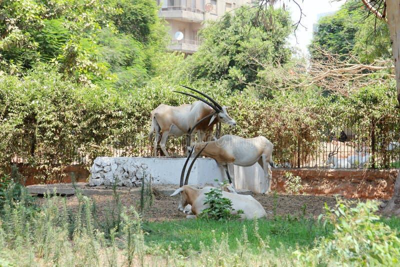 Download 与垫铁的动物 库存图片. 图片 包括有 阳光, 动物园, 庭院, 沙子, 埃及, 自然, 敌意, 空白, 阿拉伯人 - 59102857