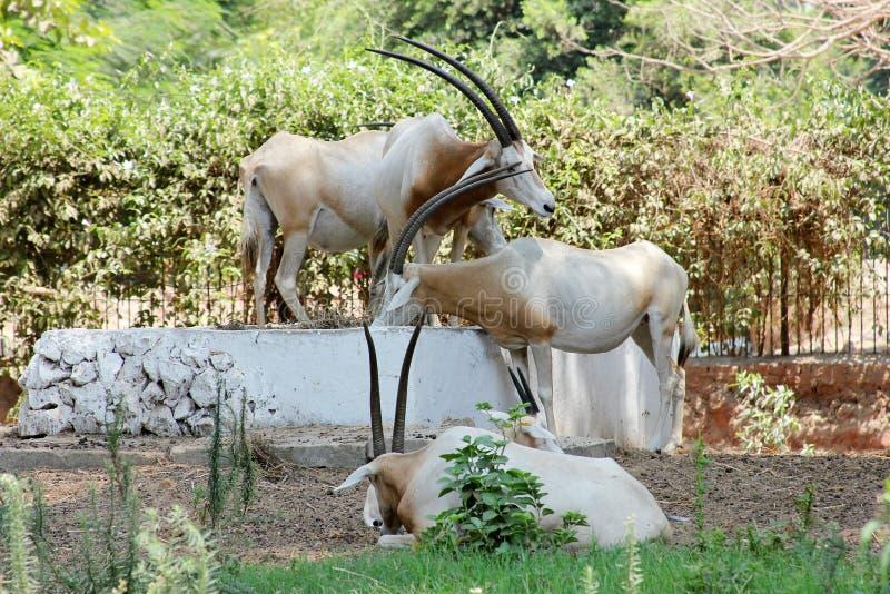 Download 与垫铁的动物 库存照片. 图片 包括有 自然, 野生生物, 母牛, beautifuler, 开罗, 闹事 - 59102914