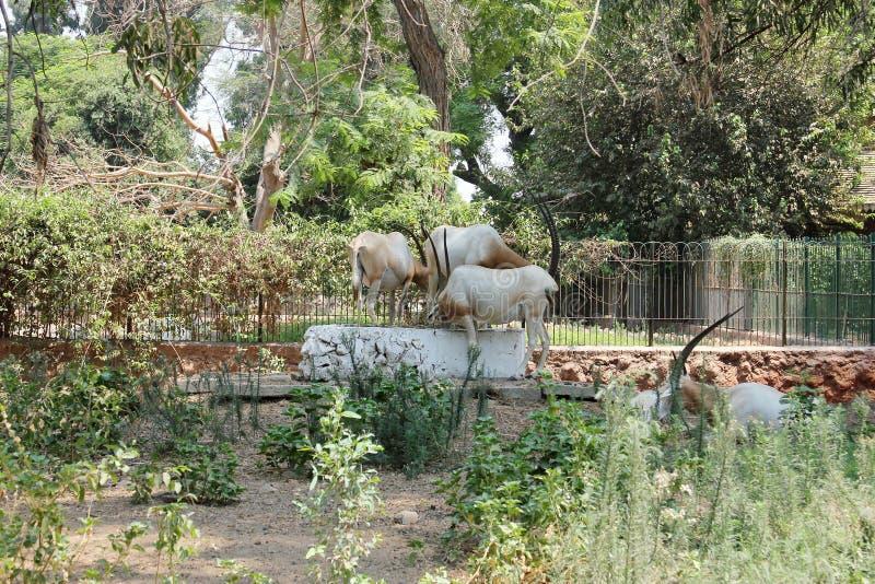 Download 与垫铁的动物 库存图片. 图片 包括有 母牛, 敌意, 闹事, 五颜六色, beautifuler, 关闭 - 59103057
