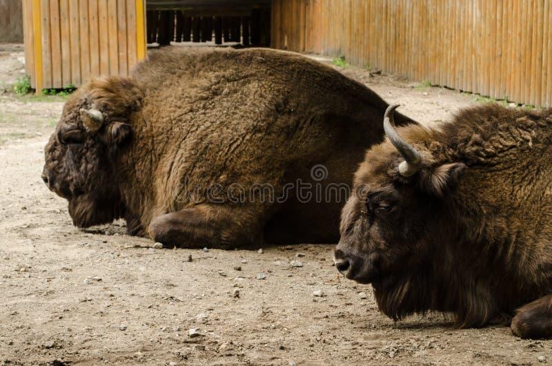 与垫铁的大棕色北美野牛有休息在Kyiv动物园 库存照片