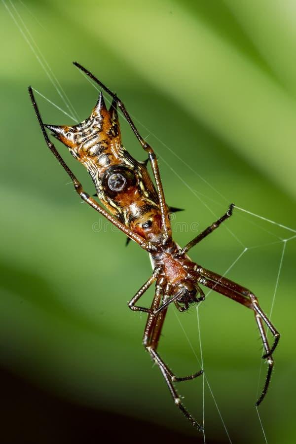 与垫铁的瘦长的蜘蛛在网的腹部, Micrathena薄肌的蜘蛛 库存图片