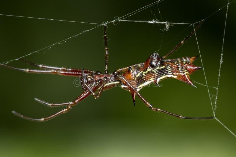 与垫铁的瘦长的蜘蛛在网的腹部, Micrathena薄肌的蜘蛛 免版税库存图片