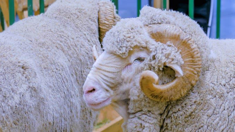 与垫铁的蓬松公羊 免版税图库摄影
