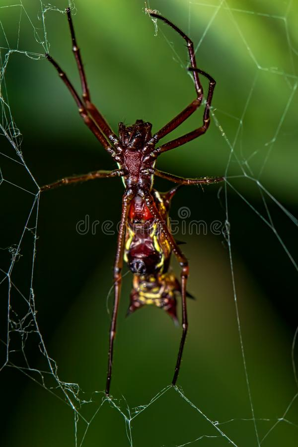 与垫铁的被延长的蜘蛛在网的腹部,Micrathena薄肌的蜘蛛 免版税图库摄影
