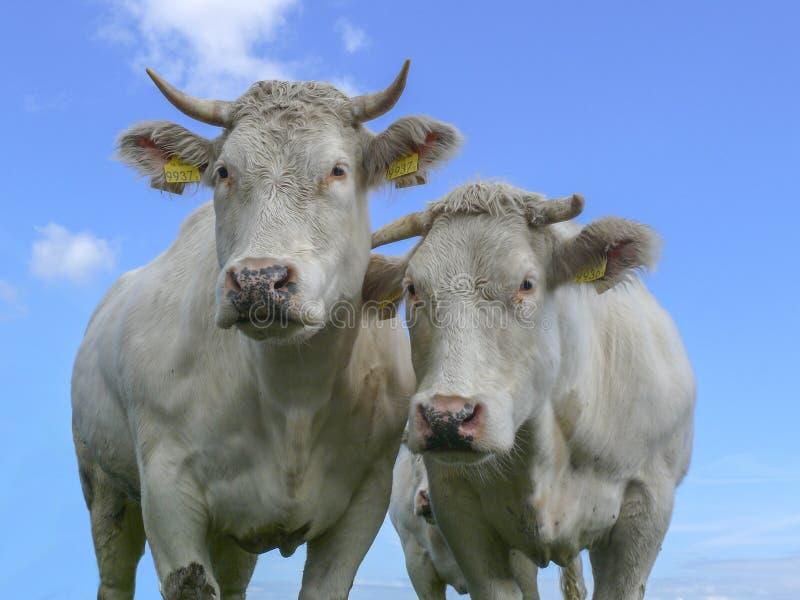 与垫铁,桃红色鼻子的两头白色母牛,看起来好奇和香与一天空蔚蓝在荷兰 免版税库存图片
