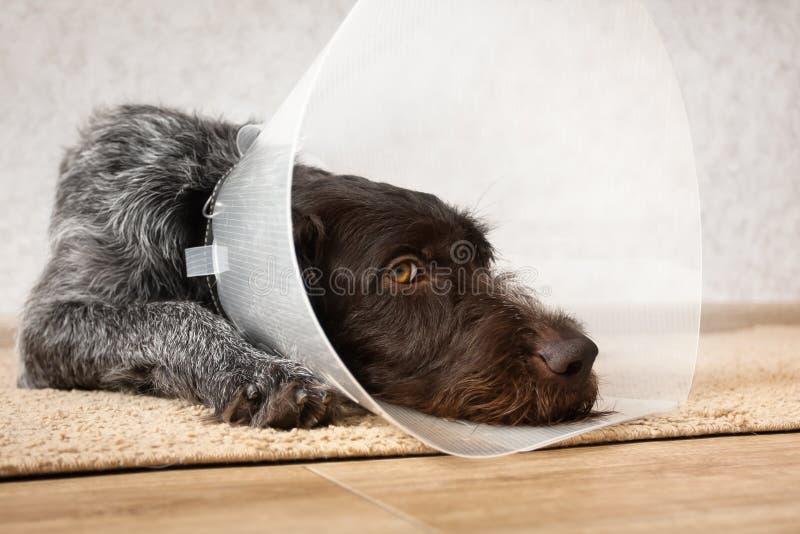 与塑料伊丽莎白女王的衣领的狗 库存图片