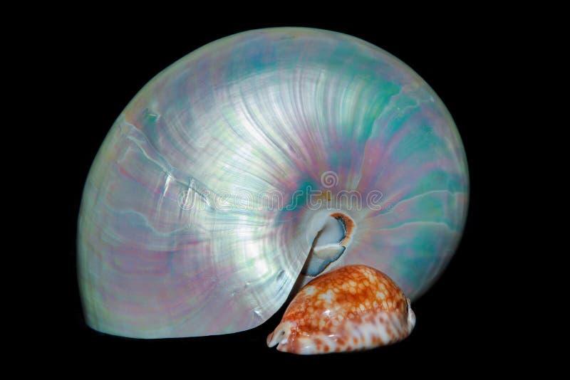 与壳的静物画:珍珠舡鱼和贝壳 免版税库存图片