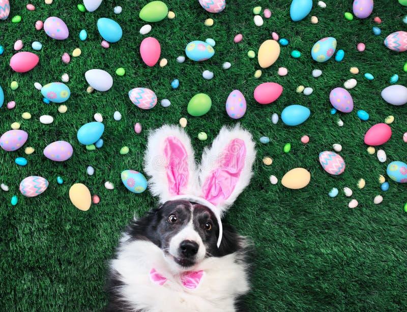 与复活节彩蛋和糖果围拢的兔宝宝耳朵的狗 库存图片
