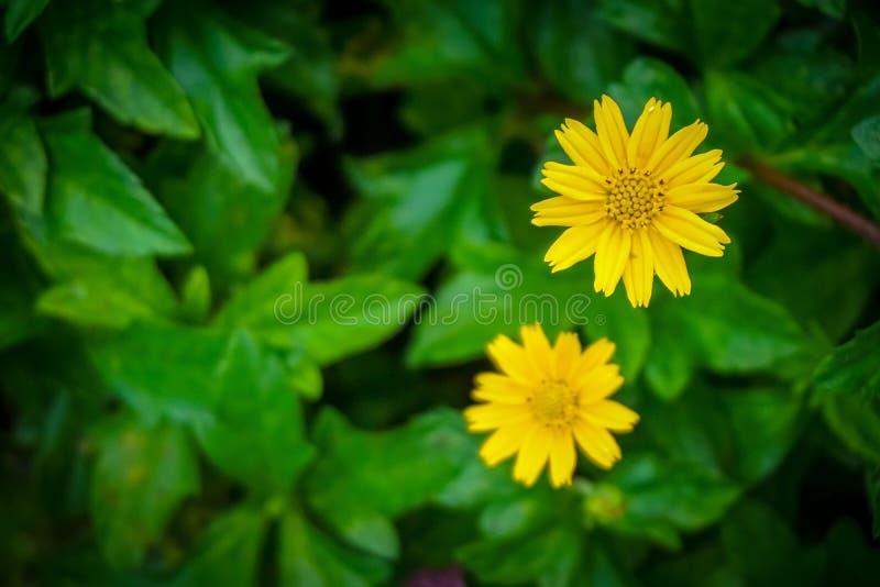 与夏天庭院迷离的黄色百日菊属花 库存照片