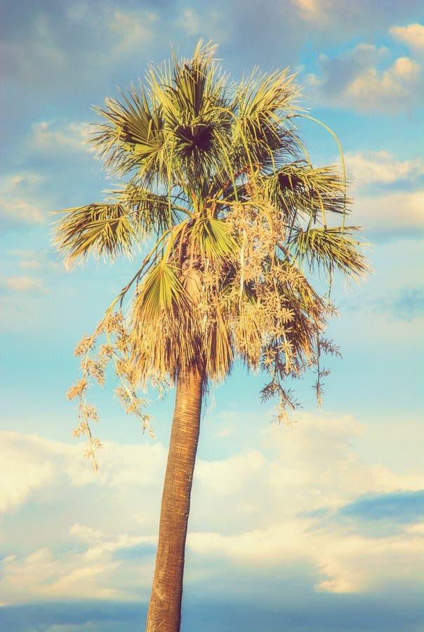 与多云天空在日落,黄色过滤器的棕榈树 免版税库存图片