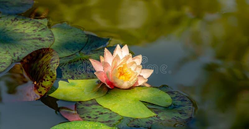 与多斑点的叶子的不可思议的桃红色荷花或莲花佩里的橙色日落 星莲属的瓣与水下落的 库存图片