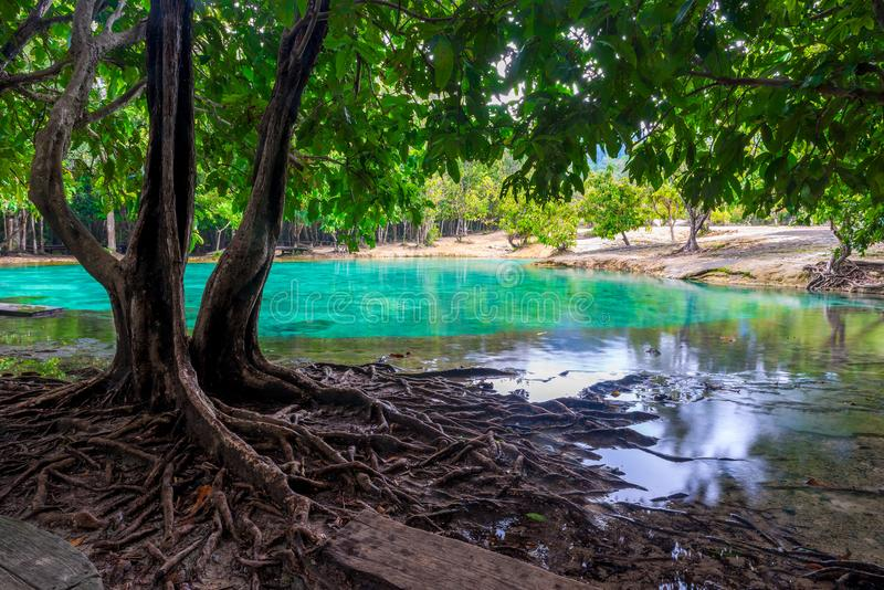 与多枝根的美丽的树在emera的背景 免版税库存照片