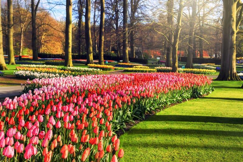 与多色郁金香的春天风景 免版税库存图片