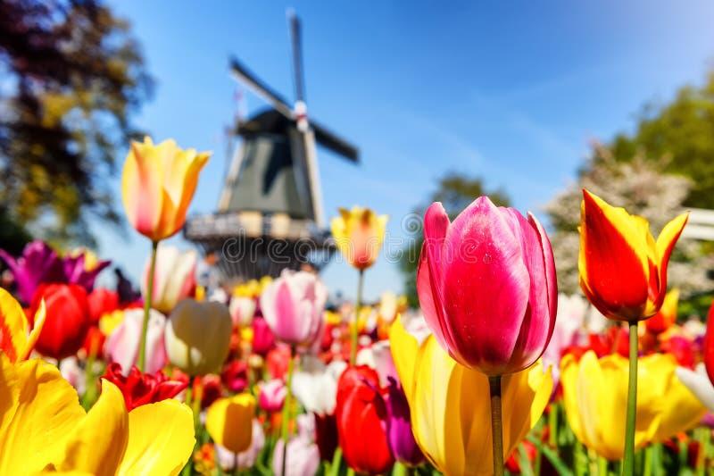 与多色郁金香的春天风景 库存图片