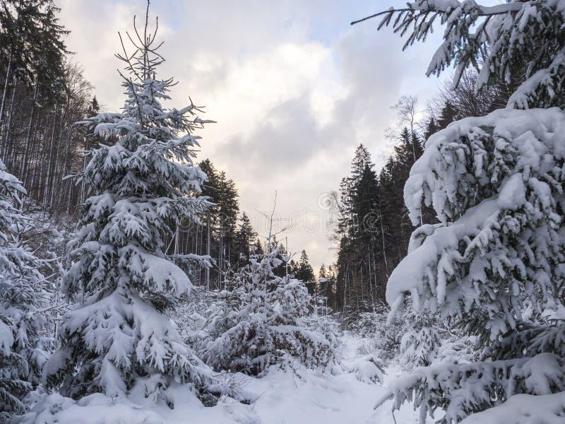 与多雪的冷杉和云杉的树,分支,在金黄小时太阳的田园诗冬天风景的积雪的森林风景 库存照片