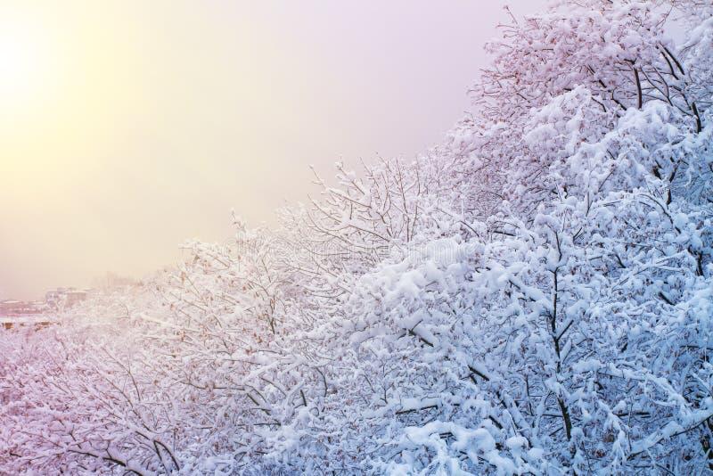 与多雪的树的冬天背景 与用雪盖的树的美好的冬天风景在公园、森林和太阳 图库摄影