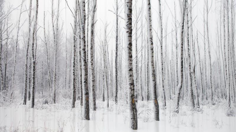 与多雪的桦树的冷淡的冬天风景 免版税库存照片